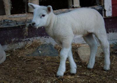 lamb-0001