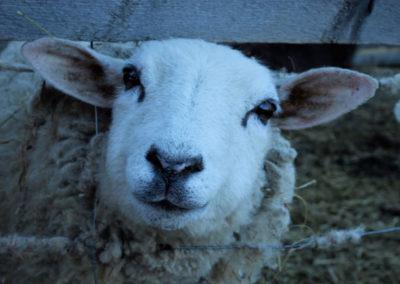 lamb-0002